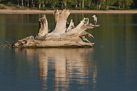 Reflections of an old tree stump and a Great Blue Heron in Cherry Creek Reservoir.  Colorado