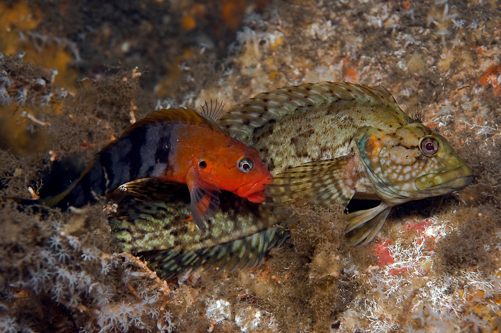 A pair of Hairy Blennies, Labrisomus nuchipinnis, mate underneath the Blue Heron Bridge in Singer Island, Florida, United States. The male is the more colorful fish.