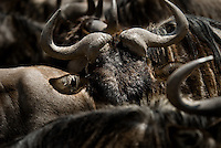 Blue Wildebeest in the Ngorongoro Crater, Tanzania