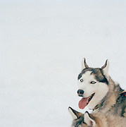 Huskies harnessed to pull a sleigh in Lapland, Sweden