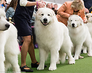 The 142nd Annual Westminster Kennel Club Dog Show in New York, NY on February 13, 2018