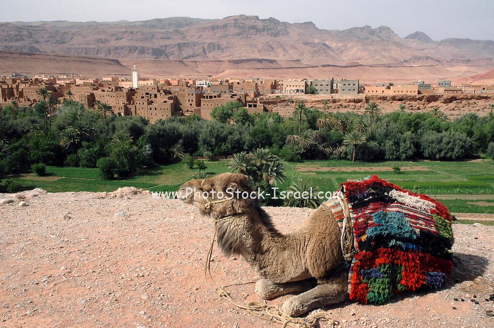 Morocco, Todra Gorge (Wadi Todra) Arabian camel (Camelus dromedarius)