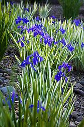 Iris laevigata 'Variegata' AGM