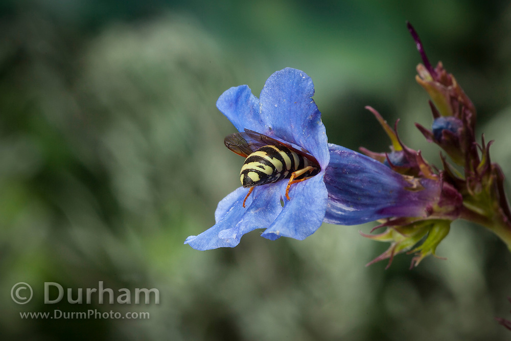 A pollen wasp (Pseudomasaris vespoides) inside the flower of a Lemhi Penstemon (Penstemon lemhiensis). Evidence suggests that the wasp co-evolved with the penstemon to pollinate the plant. Photographed via permit at Big Hole National Battlefield, Montana.