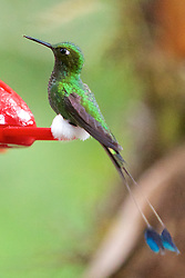 Booted Racket-tail, Bella Vista, Cloud Forrest