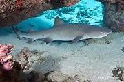 whitetip reef shark, Triaenodon obesus, male, in undersea cavern, Waikoloa, South Kohala, Kona, Hawaii ( Central Pacific Ocean )
