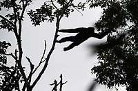 Black crested gibbon, Nomascus concolor, on the move, Wuliangshan Nature Reserve in Jingdong county, Yunnan, China. This is one of four subspecies and this subspecies is named Central Yunnan black crested gibbon, Nomascus concolor jingdongensis. It only occurs in a small region around the Wuliang Mountain, between the Mekong and Chuanhe rivers in west-central Yunnan.<br /> <br /> Conservation: The black crested gibbon is listed as critically endangered on the IUCN Red List. An estimated 1300 to 2000 individuals are left in the wild.<br /> <br /> The black crested gibbon inhabits tropical evergreen, semievergreen, deciduous forests in subtropical and mountainous areas at high altitudes, from 2100 to 2400 m above sea level.