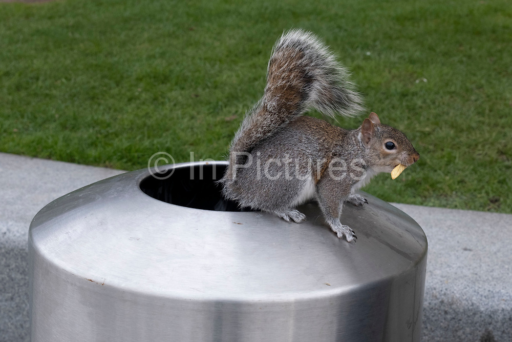 Grey squirrel eating a chip which it has collected from a bin on 5th March 2021 in London, England, United Kingdom. Grey squirrels are city dwelling opportunists, able to supplement their diet with food that humans throw away. This squirrel climbed right inside the bin to slowly work its way through a box of discarded fries.