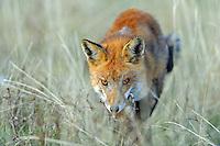 Red Fox; Vulpes vulpes, Serra de Beumort, Gerri de la Sal, Catalonia, Spain.
