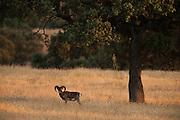 Mouflon (Ovis musimon)<br /> Sierra de Andújar Natural Park, Mediterranean woodland of Sierra Morena, north east Jaén Province, Andalusia. SPAIN<br /> ORIGINALLY INTRODUCED FROM FRANCE.<br /> <br /> Mission: Iberian Lynx, May 2009<br /> © Pete Oxford / Wild Wonders of Europe<br /> Zaldumbide #506 y Toledo<br /> La Floresta, Quito. ECUADOR<br /> South America<br /> Tel: 593-2-2226958<br /> e-mail: pete@peteoxford.com<br /> www.peteoxford.com