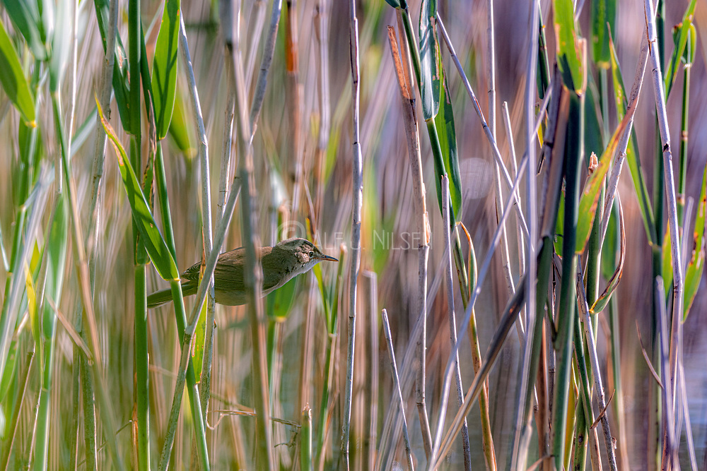 Eurasian reed warbler (Acrocephalus scirpaceus) hunting in the dense stout grass forest of Vejlerne, northern Denmark.