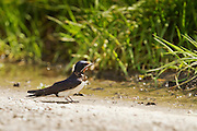 A barn or European swallow on the ground collecting nesting material.