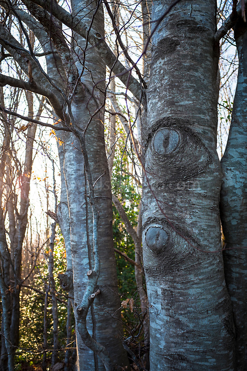 Eyes on trees. Winter forest path, Parc Natural de Montseny, Catalonia