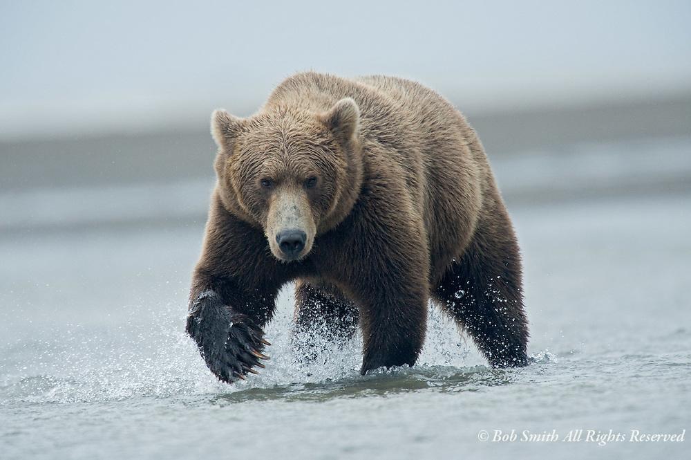 Brown bear at Lake Clark National Park, AK 20080902  (ursus arctos)Brown bear at Lake Clark National Park, AK 20080902  (ursus arctos)