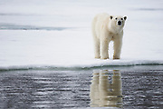 A  polar bear (Ursus maritimus) walking on the ice and reflected in the water ,Svalbard, Norway