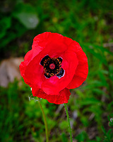 Red Oriental Poppy flower. Image taken with a Fuji X-T3 camera and 80 mm f/2.8 OIS macro lens (ISO 160, 80 mm, f/5.6, 1/100 sec).