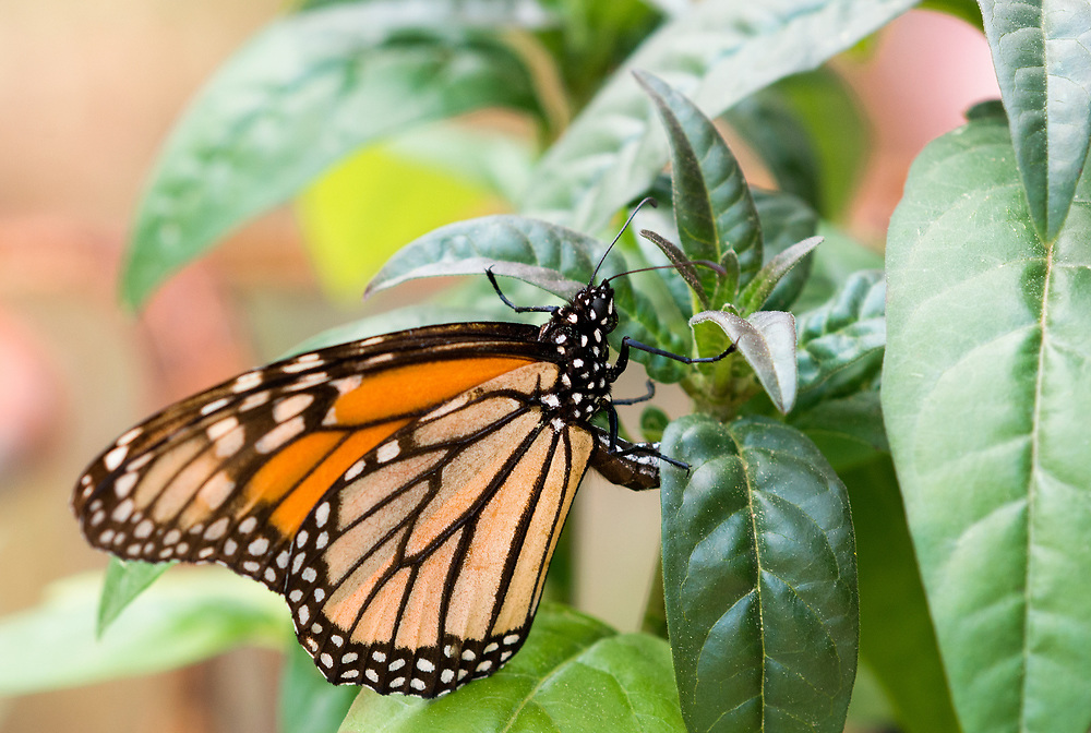 She lays her eggs on the underside of a milkweed leaf, the monarch butterfly host plant.
