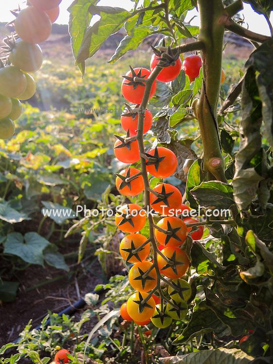 Organic Tomato garden ripe tomatoes on the plant