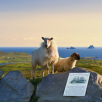 View on the Great Skelligs from Valentia Island with sheep in the foreground, Iveragh Peninsula, Ring of Kerry, southwest ireland / vl096 I love the Skelligs, ****** <br /> <br /> Visit & browse through my Photography & Art Gallery, located on the Wild Atlantic Way & Skellig Ring between Waterville and Ballinskelligs (Skellig Coast R567), only 3 minutes from the main Ring of Kerry road.<br /> https://goo.gl/maps/syg6bd3KQtw<br /> <br /> ******<br /> <br /> Contact: 085 7803273 from an Irish mobile phone or +353 85 7803273 from an international mobile phone