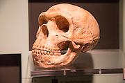 Skull of Homo Neanderthalensis, archaeology museum, Jerez de la Frontera, Cadiz Province, Spain
