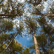 Towering white Pines in a Massachusetts forest