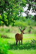 Pocone_MT, Brasil...Veado no Patanal em Pocone no Mato Grosso...A deer in Pantanal in Pocone, Mato Grosso...Foto: JOAO MARCOS ROSA / NITRO...