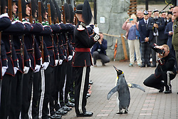 """Sir Nils reviews His Majesty the King of Norway's Guard  after receiving his new title of """"Brigadier Sir Nils Olav"""".(c) Brian Anderson 