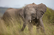 Playful baby elephant enjoys the savannah breeze while feeding and surrounded by family in the Maasai Mara, Kenya.