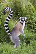 Madagascar, Vakona  forest Ring tailed lemur (Lemur catta)
