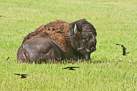 Bull Bison (Bison bison) and a Brown-headed Cow Birds (Molothrus ater). Custer State Park, South Dakota, USA.
