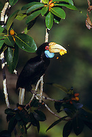 Wreathed Hornbill (Aceros undulates) female eating fig (Ficus stupenda).