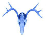 X-Ray of a White Tailed Deer (Odocoileus virginianus).