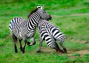 Grant's zebra (Equus burchellii boehmi) males fighting, Nakuru National Park, Kenya.