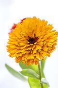 Calendula officinalis 'Touch of Red Mix' - pot marigold