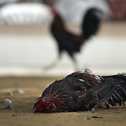 THE PHILIPPINES (Boracay). 2009. A game cock lies dying as his competitor walks away in the background during the cockfighting at the Boracay Cockpit,  Boracay Island. Photo Tim Clayton <br /> <br /> Cockfighting, or Sabong as it is know in the Philippines is big business, a multi billion dollar industry, overshadowing Basketball as the number one sport in the country. It is estimated over 5 million Roosters will fight in the smalltime pits and full-blown arenas in a calendar year. TV stations are devoted to the sport where fights can be seen every night of the week while The Philippine economy benefits by more than $1 billion a year from breeding farms employment, selling feed and drugs and of course betting on the fights...As one of the worlds oldest spectator sports dating back 6000 years in Persia (now Iran) and first mentioned in fourth century Greek Texts. It is still practiced in many countries today, particularly in south and Central America and parts of Asia. Cockfighting is now illegal in the USA after Louisiana becoming the final state to outlaw cockfighting in August this year. This has led to an influx of American breeders into the Philippines with these breeders supplying most of the best fighting cocks, with prices for quality blood lines selling from PHP 8000 pesos (US $160) to as high as PHP 120,000 Pesos (US $2400)..