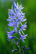Camas Flowers, Montana