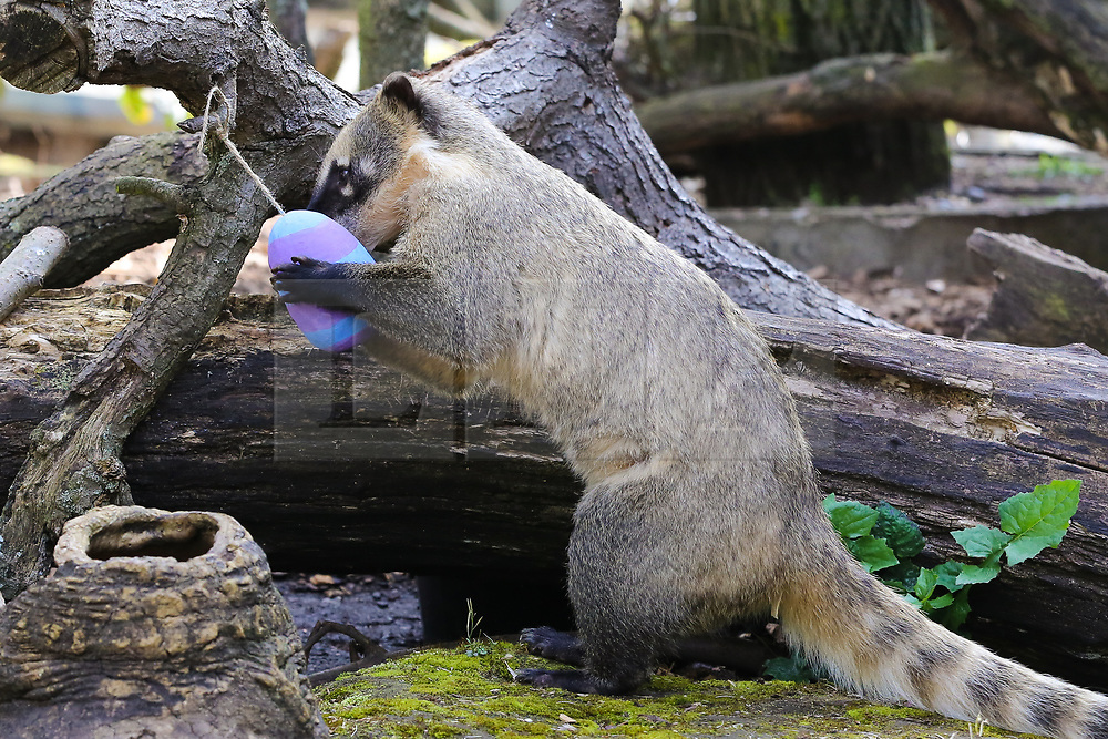 © Licensed to London News Pictures. 18/04/2019. London, UK. A ring tailed Coati (Nasua nasua) joins in with the Easter fun by having an Easter egg hunt at London Zoo searching their lush forest den to find brightly coloured eggs stuffed with their favourite tasty crickets. Photo credit: Dinendra Haria/LNP
