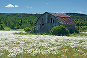 Barn and wildlflowers (Common daisies)<br />Sainte-Félicité <br />Quebec<br />Canada