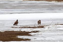 Immature or Juvenile Bald Eagle (Haliaeetus leucocephalus)