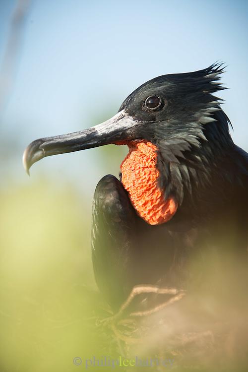 Magnificent Frigate bird , Male, North Seymour Island, Galapagos, Ecuador, South America