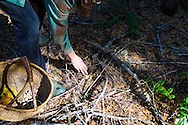 MUSHROOMS: Collecting Wild Mushrooms In Oregon.  Mushroom Forager Debby Accuardi collecting Oregon White Chanterelle Mushrooms in an undisclosed location in the Cascade Range. Pictured here are coral mushrooms, generally an indicator species for white chaterelles.