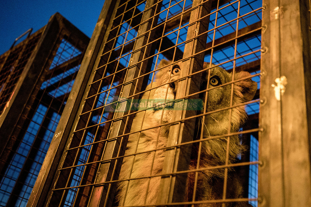 April 04, 2017 - Bartella, Nineveh Province, Iraq - SIMBA inside of his cage later on the night of the rescue, March 30, 2017, outside of the city of Mosul. A lion and a bear, just rescued from Mosul's zoo, are prepared to fly to safety outside Iraq and into Erbil, Kurdistan. The two animals nearly starved to death in their cages while battle raged around them in the Iraqi city earlier this year. Several other animals at the zoo died from neglect but these two were finally rescued by the animal charity Four Paws. (Credit Image: © Gabriel Romero via ZUMA Wire)