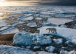 Polar bear (Ursus maritimus) in arctic ice landscape, Nordaustlandet, Svalbard