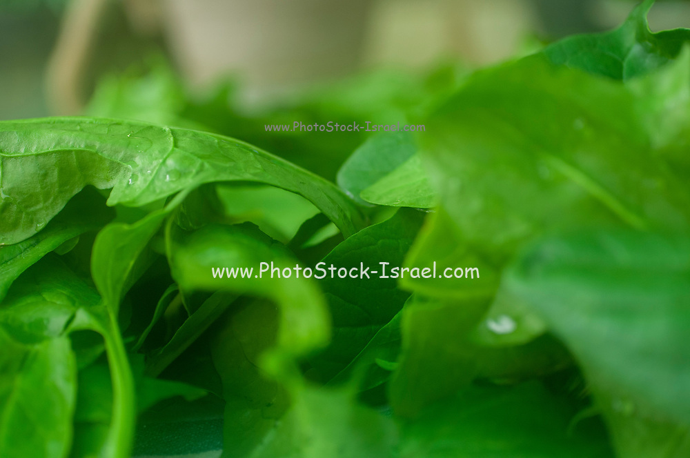 Edible leafs of Spinach (Spinacia oleracea) are being air dried on a cloth outdoors after picking and washing to prepare for storage