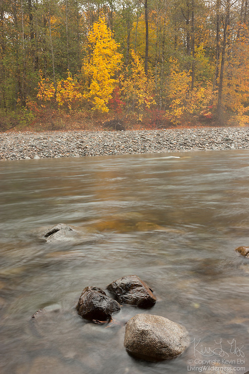 The South Fork of the Skykomish River flows past maple trees displaying their fall colors near Skykomish, Washington.