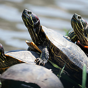 Red-eared slider turtles (Trachemys scripta elegans) photographed in Japan. This is an invasive species that is native to the United States and Mexico. This species was likely introduced to Japan through the pet trade and has become well established throughout the country.