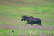 The Bull Moose begins to trott up the hill and away from Forde Lake where it had been feeding on wetland plants. Sinlahekin Natural Area, Okanogan.