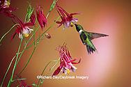 01162-071.11 Ruby-throated Hummingbird (Archilochus colubris) male on Crimson Star Columbine (Aquilegia x hybrida) IL