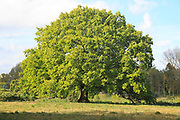 Large single oak tree in Spring, Methersgate, Sutton, Suffolk, England, UK
