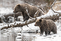 Grizzly Bears looking for fish.
